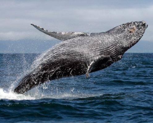 Susurrador de Ballenas